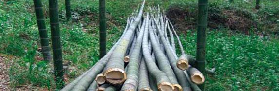 le-bambou-herbe-FSC